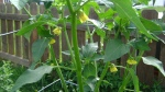 Tomatillo (my fave plant)