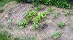 garden august 11 002