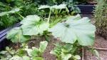 garden august 11 008