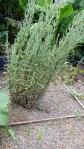 garden august 11 009