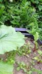 garden august 11 010