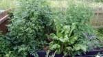 garden august 11 011