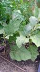 garden august 11 016