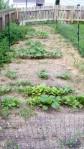 garden august 11 018